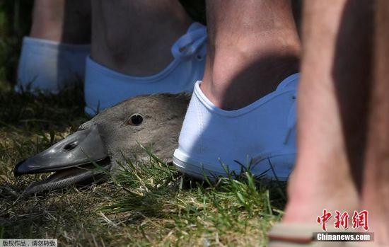 """7月17日,英国泰晤士河中的天鹅正在被进行年度""""人口普查""""。这一活动始于12世纪,当时皇室称对天鹅拥有主权,因此必须了解天鹅的数量,普查中会评估天鹅所受到的伤害以及疾病等。"""