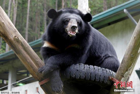 当地时间2017年7月19日,越南永福省,救援中心的月熊。越南当日从全国非法农场救出约1000只熊,此举旨在结束传统医药中的熊胆贸易行为。