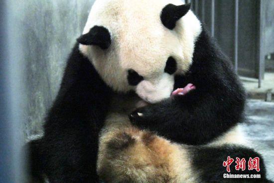 """7月22日21时51分,成都大熊猫繁育研究基地大熊猫""""二巧""""顺利产下1只雌性健康宝宝,初生体重为144g,幼仔声音洪亮,身体健康。钟欣 摄"""