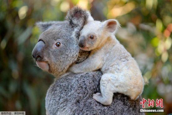2017年8月24日消息,澳大利亚一家动物园日前迎来一只罕见的白色考拉,园方目前正为它征集名字。这只超萌的白色考拉是雌性,它的母亲是澳大利亚布里斯班动物园的考拉提亚。