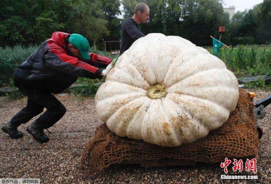 当地时间2017年9月5日,俄罗斯莫斯科,民众在莫斯科州立大学参观一颗大西洋巨型南瓜,该南瓜种植期长达6个月,重达430公斤。
