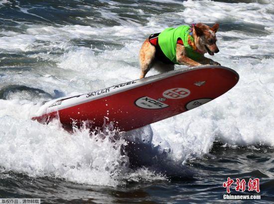 当地时间9月23日,美国加州杭廷顿海滩举办的狗狗冲浪大赛,大约有3000人参加此次比赛,参赛选手中包括来自美国、巴西和加拿大的59只狗。