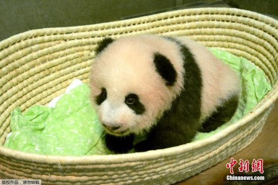 """当地时间2017年9月25日,日本东京,东京上野动物园出生的熊猫宝宝名字为""""香香""""。据报道,动物园在7月28日至8月10日期间为熊猫宝宝举行了征名活动,为熊猫宝宝征集到32.2万个名字。今早8点,日方选考委员会经过与中方协商,最终决定使用""""香香""""这个名字。"""