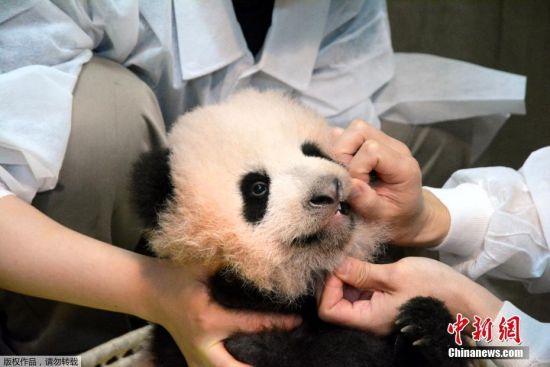 """当地时间2017年9月25日,日本东京,东京上野动物园出生的熊猫宝宝名字为""""香香""""。据报道,动物园在7月28日至8月10日期间为熊猫宝宝举行了征名活动,为熊猫宝宝征集到32.2万个名字。25日早8点,日方选考委员会经过与中方协商,最终决定使用""""香香""""这个名字。"""