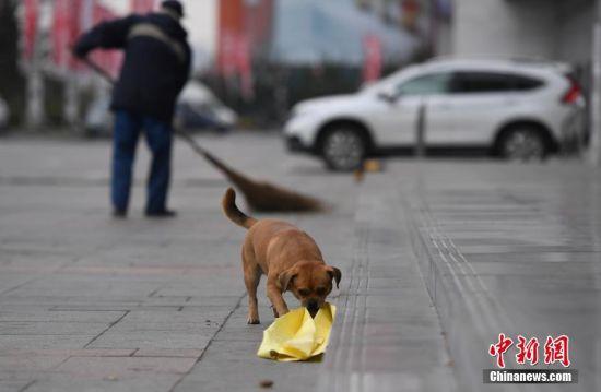 """10月11日,长春一家居广场前,小狗""""虎子""""在帮助主人捡垃圾。""""虎子""""的主人是一名清扫工,每天早上五点开始工作,小狗""""虎子""""会不停地帮助主人捡垃圾,无论寒冬酷暑,始终相随,十分感人。 中新社记者 张瑶 摄"""