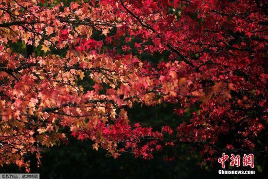 当地时间10月17日,法国奥尔沃迎来秋天,满树红叶风景醉人。