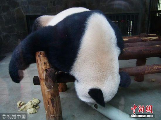 10月16日,四川成都大熊猫繁育研究基地。这里有大大小小一百多只熊猫,这些可爱的家伙们一大半时间在睡觉,偶尔醒过来就忙着吃。最销魂的当属它们的睡姿。它们各种调皮和奇特的姿势让观众喜不自禁,看不够的各种可爱。图片来源:视觉中国