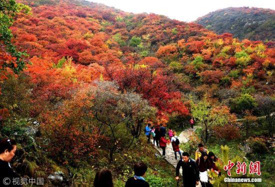 10月22日,恰逢周末,众多市民在北京房山区坡峰岭第六届红叶节上赏红叶。由于近日降雨、降温,北京多数红叶观赏点已经进入最佳观赏期,吸引众多市民户外踏秋赏景。 李文明 摄 图片来源:视觉中国