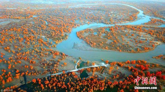 """金秋季节,新疆塔里木河流域出现五彩斑斓的景色,在新疆塔里木盆地塔克拉玛干大沙漠--""""极旱荒漠""""里出现""""极端美景""""。塔里木河两岸的胡杨林一片金黄,吸引了众多国内外游客前往观赏。据新疆尉犁县旅游景区--罗布人村寨负责人介绍,该景区每天接待的游客达3000人。确・胡热 摄 图片来源:视觉中国"""