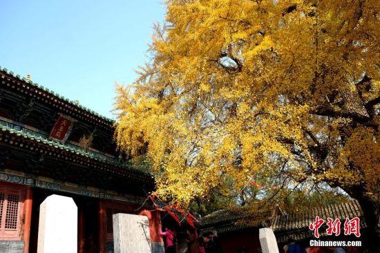 11月7日,河南登封嵩山少林寺内,千年古银杏树一片金黄,吸引民众流连忘返。其中天王殿前最大的一棵古银杏树苍劲挺拔,已有1500多年历史,它高25米,冠幅达37米。 王中举 摄
