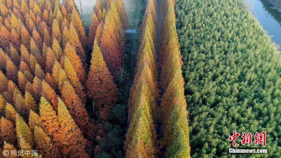 11月25日,江苏东台,初冬时节的黄海国家森林公园,层林尽染,形成了独特的冬日风景画卷。江苏黄海海滨国家森林公园总面积6.8万亩,是全国沿海地区最大的平原森林,拥有各类植物628种、鸟类342种、兽类近30种,森林里负氧离子含量平均达到3800个每立方厘米,形成了人与自然和谐共生的优良生态系统。向中林摄 图片来源:视觉中国