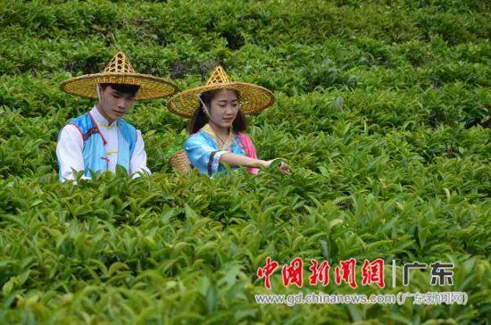 雁南飞茶田度假村已种植优质茶树1100多亩。