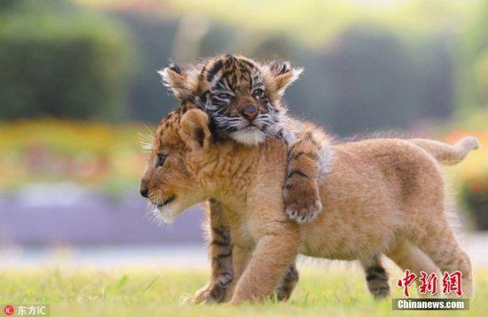 2016年9月13日报道的(具体拍摄时间不详),日本非洲野生动物园有一只小狮子和小老虎,两只青梅竹马,两小无猜,亲如手足,成了该动物园最幸福的一对好朋友。照片中,老虎、狮子幼崽及其他小动物相互亲昵,形影相伴的样子,看着简直要被萌化了。图片来源:东方IC 版权作品 请勿转载