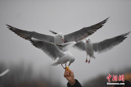 """1月3日,一只红嘴鸥站在游客手上吃食。当日,""""春城""""昆明淅淅沥沥的小雨下个不停,仍有众多游客和市民来到滇池边,与西伯利亚的""""白色精灵""""――红嘴鸥相会,领略昆明别样美景。中新社记者 刘冉阳 摄"""