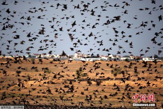 当地时间1月16日,以色列Beit Kama村,一群椋鸟在天空飞翔,场面壮观。