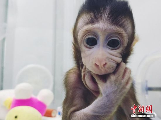 """全球顶尖学术期刊《细胞》1月25日在线发表了中国科学家的一项成果:成功培育全球首个体细胞克隆猴。中国科学院神经科学研究所、脑科学与智能技术卓越创新中心的非人灵长类平台里已有两个体细胞克隆猴,分别是2017年11月27日诞生的""""中中""""和同年12月5日诞生的""""华华""""。 图片来源:中科院神经所供图"""