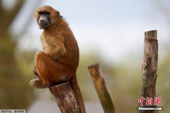 目前该动物园在网站上发布消息称,目前除4只狒狒外,其他所有都已回笼。图为狒狒资料图。