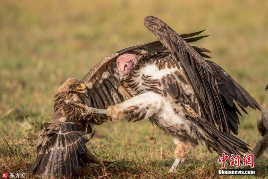2018年2月1日报道(具体拍摄时间不详),非洲马赛马拉国家保护区,秃鹫和鹰陷入了激烈的打斗,上演着一场争食大战。双方拳脚相加,你一拳我一脚进行着殊死搏斗,为的是从被狮子杀死的角马之中获得一点残肉。坦桑尼亚44岁的野生动物摄影师Prakash Singh拍摄下了这组激战的照片。图片来源:东方IC 版权作品 请勿转载