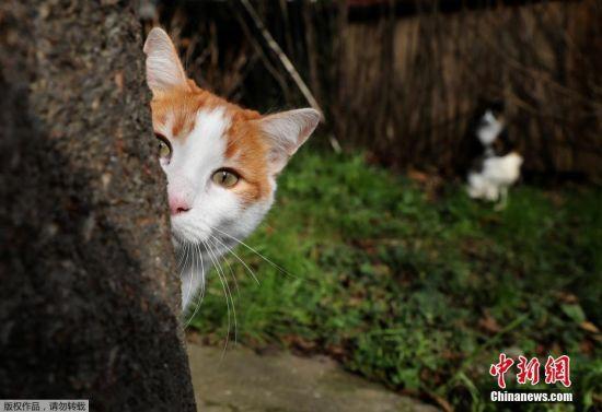 在伊斯坦布尔,如果有猫咪在建筑大厅里穿行而过,人们可能都不会为它分散注意力。因为猫咪是如此常见,他们已经完全融入了当地生活。图为一只躲在树后的猫咪好奇的探出头。