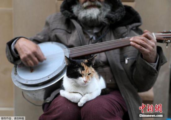 猫咪在这个城市自由自在的生活,当地居民不会阻止它们在商店里乱窜着寻找食物,游客们也习惯了酒吧的高脚凳上,有一只猫咪正蜷缩着入睡。图为一只猫咪趴在一名街头艺人的膝上,享受音乐。