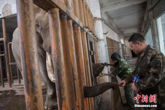 2月12日,山西太原动物园,工作人员为4吨重的大象洗脚、剪指甲,让大象以干净整洁的形象面对游客。春节将至,太原动物园将迎来客流高峰,该园集中为动物清洗笼舍,进行个体卫生打扫,迎接农历新年。 中新社记者 韦亮 摄