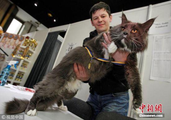 """当地时间2018年3月3日,乌克兰基辅举办第三届""""最大只猫咪""""比赛,喵星人争夺巨猫头衔。最终,一只将近12公斤重的猫咪Kamaz夺冠。 图片来源:视觉中国"""