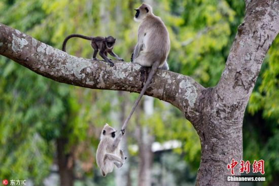 2018年3月6日报道(具体拍摄时间不详),摄影师Nihad V Vajida在印度卡纳塔克邦的本迪布尔老虎保护区(Bandipur Tiger Reserve)拍摄到一组有趣的照片,照片中一只顽皮的叶猴抓住妈妈的尾巴荡秋千,并利用妈妈的尾巴作为绳子攀爬上树,而它的一只猴子同胞则目睹了一切并向它投去嫉妒的目光。 图片来源:东方IC 版权作品 请勿转载