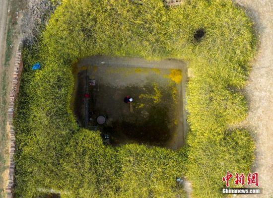 2018年3月12日,山西新绛县北侯村村民刘春虎家,历经半个多世纪的地窨院被金黄色的迎春花包围。 中新社发 史云平 摄 图片来源:CNSPHOTO