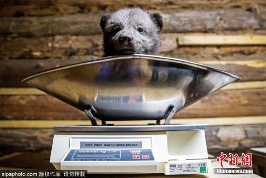 3月14日消息,在俄罗斯特维尔州有一个国际动物福利基金会孤儿熊康复中心,那些失去父母的小熊会在这里得到悉心照料,直到它们长大有能力回归大自然生活。图为一只小熊正在称重。 图片来源:Sipaphoto版权作品 禁止转载
