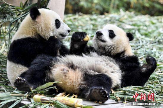 """3月28日,大熊猫双胞胎""""亲亲""""和""""爱爱""""食用特制窝窝头。大熊猫""""梅青""""于2016年10月在广州长隆诞下双胞胎""""亲亲""""和""""爱爱""""。目前""""亲亲""""和""""爱爱""""已正式断母乳,并离开母亲""""梅青""""在新的居所生活。 中新社记者 陈骥�F 摄"""