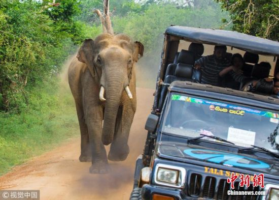 当地时间2018年3月27日,斯里兰卡雅拉国家公园,亚洲象将它的鼻子和象牙探进了吉普车里寻找食物,惊慌失措的司机开车逃跑失败被抓住。图片来源:视觉中国