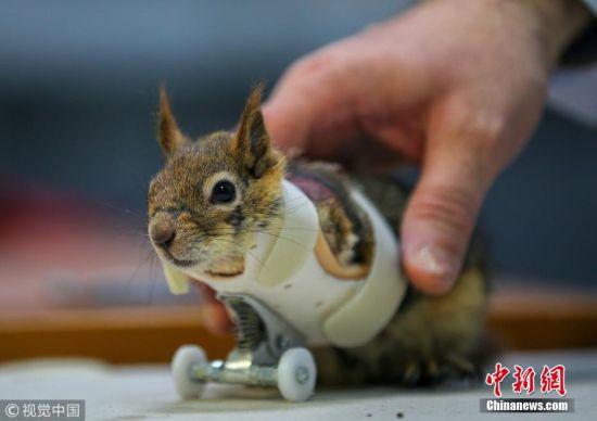 """近日,土耳其伊斯坦布尔,小松鼠Karamel因误入陷阱被捕兽夹夹断前爪,伊斯坦布尔一大学为它装上了新的""""前腿"""",一对轮子假肢。 图片来源:视觉中国"""