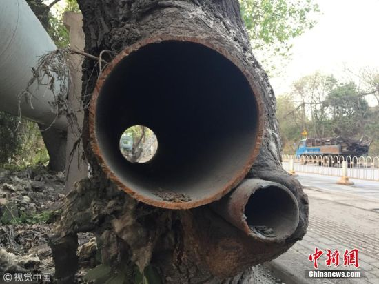 """4月2日消息,武汉青山21号公路凤凰山公交站附近,有一棵大树树干中包裹着两根铁管,却依然茁壮生长。市民杨先生致电武汉晚报新闻热线,称这棵树为""""树坚强""""。 杨先生介绍,近日,他乘公交车经过此处,无意中发现了这棵大树,大树高10米左右,枝干粗壮,在树干底部长着一个""""大疙瘩"""",一粗一细两根铁管在""""疙瘩""""处穿过。杨先生测量发现,粗的一根铁管直径27厘米,细的铁管直径也有9厘米,铁管长1米多。 附近居民介绍,这棵大树树龄有二三十年。树中包裹的铁管是早于大树架设的管道。大树在生长过程中,树干慢慢地把两根铁管包裹了进去。几年前,管道拆除时,估计施工人员担心抽出树干中铁管后,大树会干枯或者倾斜,便在大树两侧锯断了铁管。 负责附近道路清扫工作的环卫工称,大树虽然形状怪异,但长势还好,开春后会发芽。园林工作人员看了记者提供的图片后表示,这应该是一棵枫杨树。枫杨树多用作行道树,其根系发达,耐旱、耐湿、耐寒,生命力顽强,生长速度快,适应性强。树干包裹的铁管没有破坏大树根系,市民不用担心会导致树木枯死。 万林竹 摄 图片来源:视觉中国"""