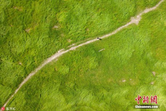 """2018年4月7日,航拍江西省庐山市境内的鄱阳湖""""大草原""""。季节性湖泊的鄱阳湖延续着春夏丰水、秋冬干枯的自然法则,干涸的湖底长出绿草,从空中俯瞰,中国最大淡水湖呈现出别样的壮美风光。 星辰 摄 图片来源:东方IC 版权作品 请勿转载"""