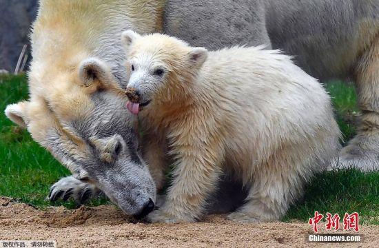 当地时间2018年4月13日,德国盖尔森基兴,当地动物园的北极熊宝宝Nanook在妈妈Lara的带领下首次出洞,探索外面的世界。 Nanook于去年12月4日出生,出生后就一直和妈妈在它们的洞穴生活,这是它首次出洞探险。