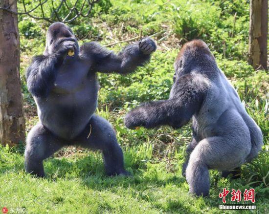 4月23日报道(具体拍摄时间不详),英国德文郡的佩恩顿动物园,两头西部低地大猩猩为争夺食物,看起来是要进行一场拳击赛。动物园的饲养员们将这场争夺称之为阶级战争。画面中,低阶级的猩猩Kivu努力地保护着自己的食物不被中级的大猩猩Kiondo夺走。园内的一名游客拍摄下了这些画面。图片来源:东方IC 版权作品 请勿转载