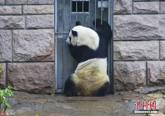 近日,北京动物园,雨后大熊猫憨态可掬萌翻游人,大熊猫悠闲自得、憨态可掬,狼吞虎咽狂吃竹子,游人流连忘返。 图片来源:东方IC 版权作品 请勿转载