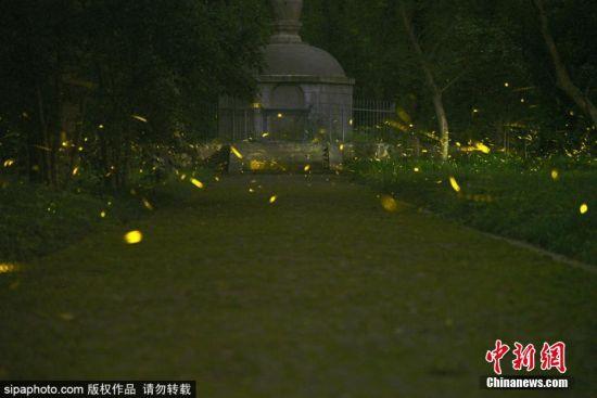 南京市灵谷寺景区内盛夏的夜晚,成群的萤火虫在南京灵谷寺景区的树林中飞舞,流光溢彩的运动轨迹,美如夜晚的繁星,成为夏夜里一道独特的风景线。贾世清 摄 图片来源:Sipaphoto 版权作品 禁止转载