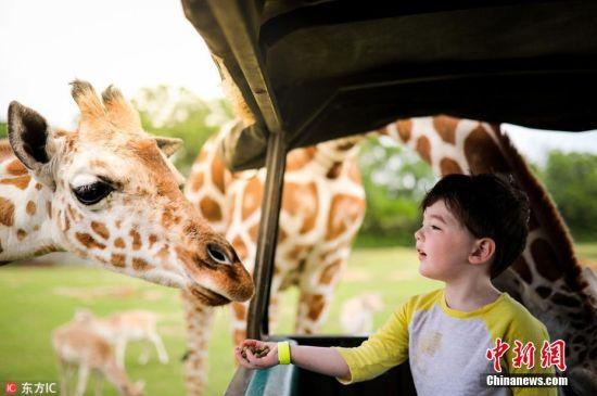 2018年6月22日消息,近日,3岁的James Musser在妈妈Kelly的陪伴下坐上动物中心的观光吉普车参观,途中遇上了一群长颈鹿,有点害怕又新奇的James十分兴奋。图片来源:东方IC 版权作品 请勿转载