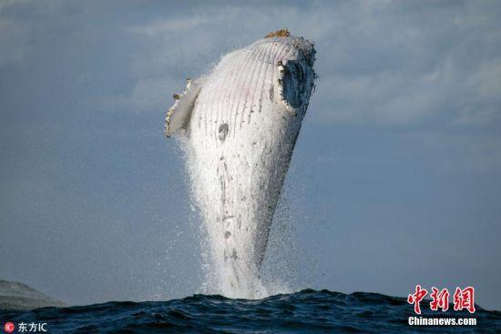 近日,澳大利亚新南威尔士,鲸鱼发烧友约翰-古德里奇(John Goodridge)拍到了一头20吨重的座头鲸跃出水面,身体几乎跟海面垂直的罕见画面。54岁的鲸鱼爱好者约翰在距离Sydney Heads几公里外的地方发现了这头罕见的海洋哺乳动物。图片来源:东方IC 版权作品 请勿转载