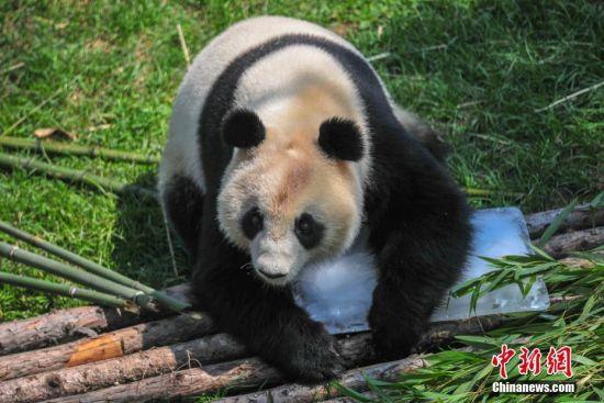 7月17日,大熊猫趴冰消暑。当日,沈阳最高气温达到32℃,沈阳森林动物园的饲养员准备了大块冰块,供大熊猫玩耍降温。中新社记者 于海洋 摄