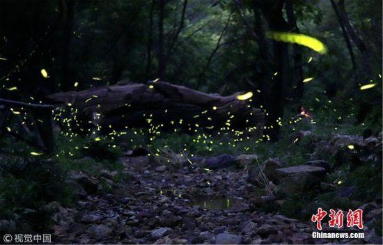 """7月18日,盛夏之夜,江苏镇江句容宝华山上成千上万的萤火虫在林间飞舞,如同梦幻神秘的""""童话之境""""。万凌云 摄 图片来源:视觉中国"""