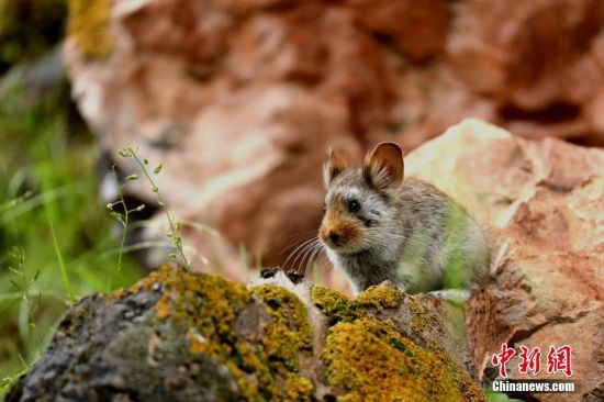7月23日,记者从昂赛国际自然观察节组委会获悉,昂赛国际自然观察节前两日,多国自然科学爱好者提交自然观察记录图片1600余张,涵盖兽类、鸟类、两栖和植物等。图为川西鼠兔。葛增明 摄