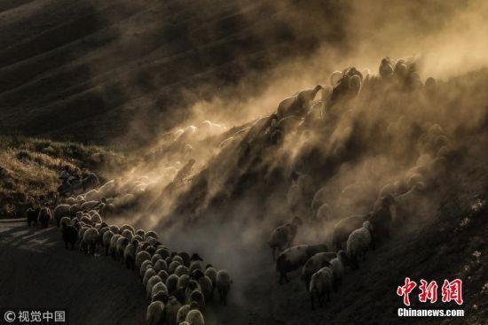 当地时间2018年7月26日,土耳其比特利斯,日落时分,牧羊人驱赶羊群经过内姆鲁特山高地卷起尘土景象壮观。图片来源:视觉中国
