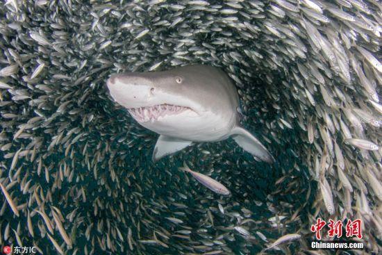 2018年7月27日消息,美国水下摄影师Joseph Tepper前往北卡罗来纳州海域潜水,在那里他目睹了一群虎鲨邂逅鱼群风暴的震撼一幕。当时,数百万只小鱼聚集成一个巨大的风暴旋涡,内部形成一条隧道,虎鲨穿梭其中仿若大王巡视,场面格外震撼。图片来源:东方IC 版权作品 请勿转载