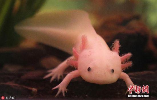 """当地时间2018年8月7日,南非开普敦的水族馆展出珍稀墨西哥蝾螈。墨西哥蝾螈又称""""六角恐龙"""",产自墨西哥泽尔高湖。如今已被国际自然保护联盟列为严重濒危动物。 图片来源:东方IC 版权作品 请勿转载"""