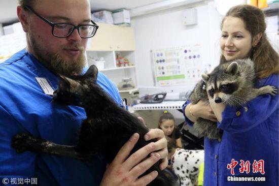 """近日,俄罗斯顿河畔罗斯托夫的一家宠物医院,小浣熊变身为热情认真好""""员工"""",它的工作任务就是在前台接待前来就诊的病患,并为小动物们带路。 图片来源:视觉中国"""