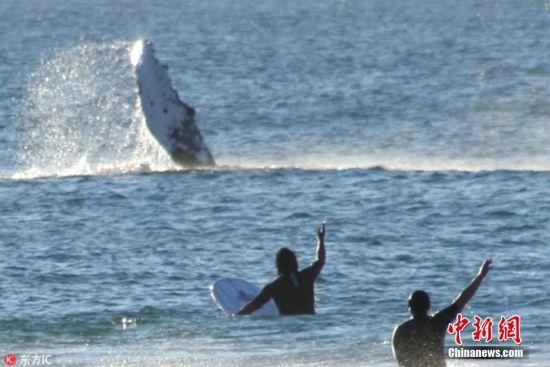 """2018年8月20日报道(具体拍摄时间不详),38岁的摄影师Kellie Wilson在澳大利亚昆士兰黄金海岸,拍摄到一组鲸鱼与人类互动的照片。几头顽皮的鲸鱼在海岸附近玩耍,跃出海面的它们仿佛在与沙滩上的游客们挥手说""""你好""""。在当地,观鲸是一种常见的活动,但这些照片好像显示了,有的时候,这些深海中的巨型生物们也对观看人类很感兴趣。 图片来源:东方IC 版权作品 请勿转载"""