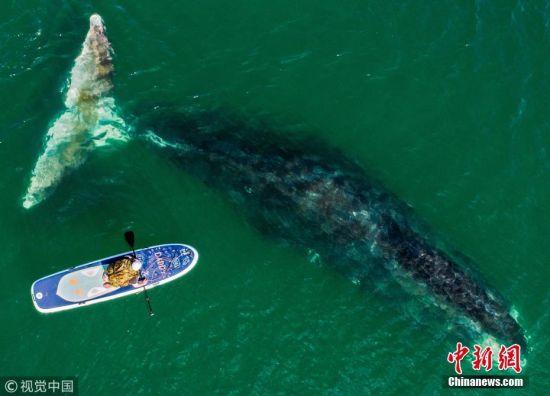 当地时间2018年8月8日,摄影师航拍生活在俄罗斯哈巴罗夫斯克的弓头鲸,这些庞然巨物在Vrangel海湾悠然生活。弓头鲸又叫北极露脊鲸,名字得自于巨大而独特的弓状头颅,是一种属于鲸目的海洋哺乳动物,长成后长度可达21米,躯体非常沉重,体重可达75-100吨,鲸脂厚达70厘米,有助于御寒。弓头鲸被列入《世界自然保护联盟》(IUCN) 2012年濒危物种红色名录,现存数量大约为1万头。 图片来源:视觉中国