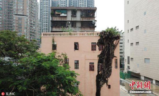 """2018年8月22日,在广州北京路地铁站附近,有一处奇景:一株榕树在一栋居民楼的墙内倔强生长,树干""""穿墙透窗""""而出,整棵树长得比楼房还高。这栋四层高楼房外墙上,一株差不多高的大榕树嵌在其中,从一楼一直延伸到四楼,看起来颇为""""魔幻""""。当地人说,这棵榕树可能是种子在墙缝中生根发芽、逐渐长出来的。老街坊张阿姨说,她在这里住了30多年,搬过来时树已经长在墙上。几十年来,树干逐渐穿透砖墙而出,树冠曾经长到5层楼那么高。 图片来源:东方ic 版权作品 请勿转载"""